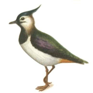 ...кованая клетка птиц и название и фото птицы с хохолком.