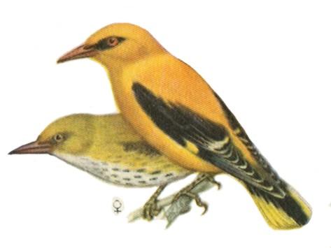 Эта птица обычная в Средней полосе России, распространенная и интересная, хотя увидеть ее трудно.