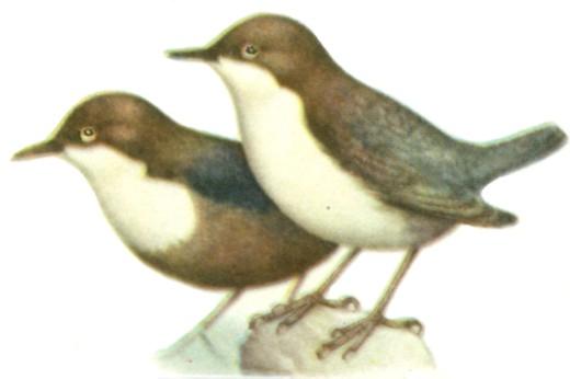 Оляпка в Нижегородской области встречалась единично, а сейчас считается видом, исчезнувшим из гнездования.